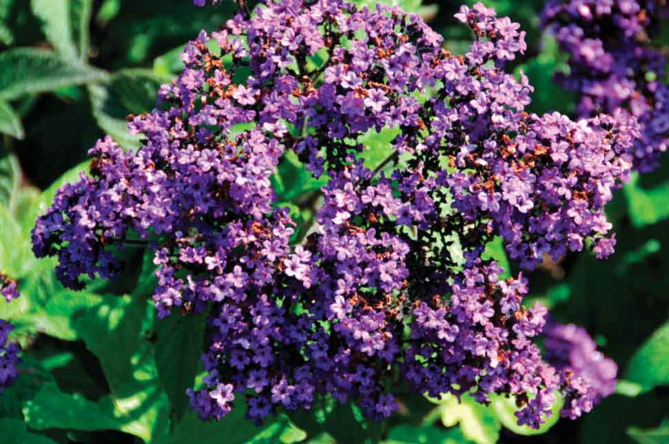 what color is heliotrope