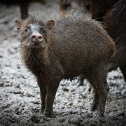 Peccary (photo by Sofía Monzón)